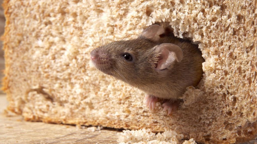 Effective Home Remedies for Rats Removal-Moth balls
