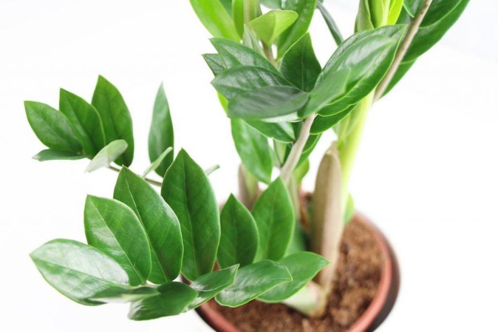 Zamioculeas zamiifolia