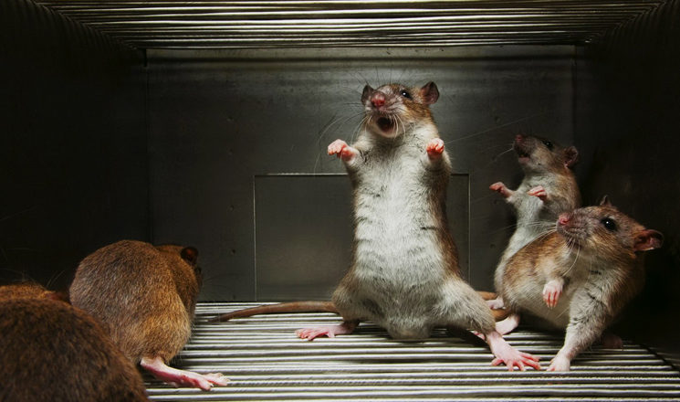 Effective Home Remedies for Rats Removal