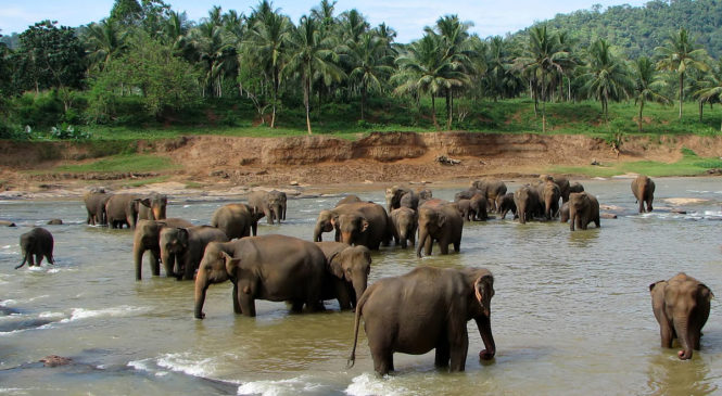 Elephant Rehabilitation in Sri Lanka