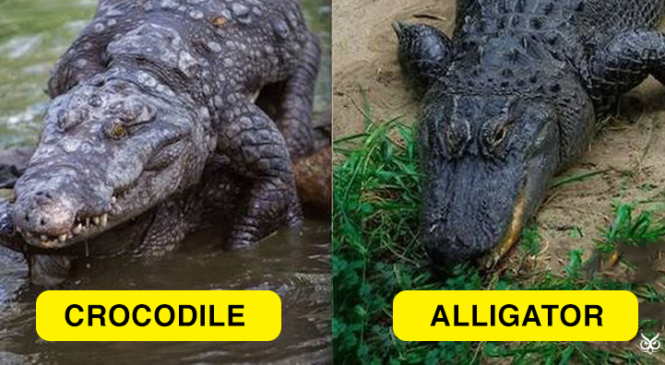 Similarities, Differences between Alligators and Crocodiles