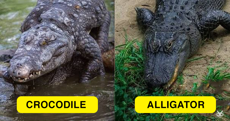 4ab95356 Differences and Similarities Between Alligators and Crocodiles