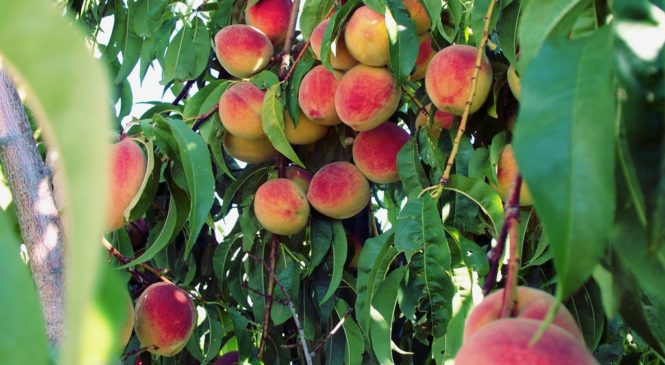 How to Grow Organic Peach Trees in the Home Garden