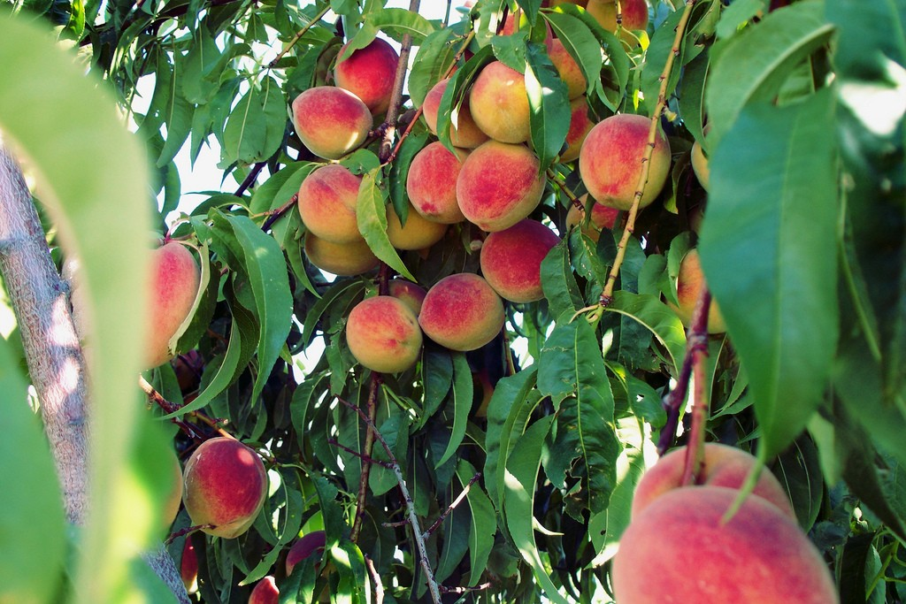 how to look after fruit trees