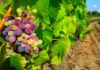 Overview on Spanish Wine and Wine Growing