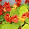 Ornamental Shrubs with Edible Flower Blooms