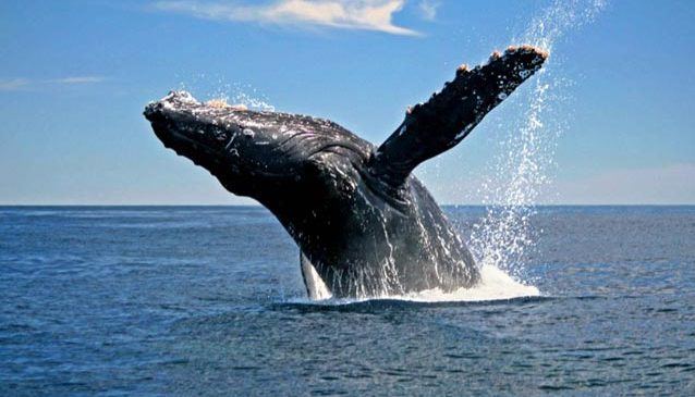 Whales, Dolphins and Ocean Noise