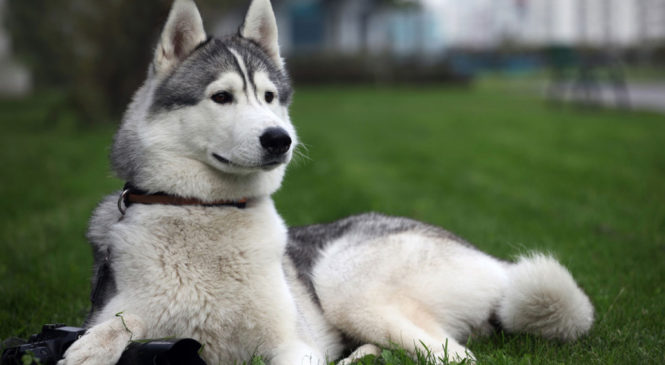 The Siberian Husky: Is this the breed for you