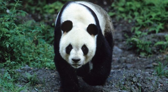 Using New Scientific Techniques to Help Save the Giant Panda