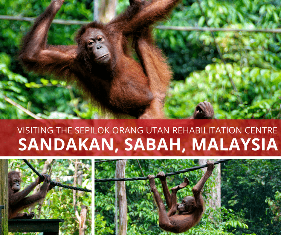 Orang Utans in Sepilok Top 7 Things to Do When You Visit Malaysia