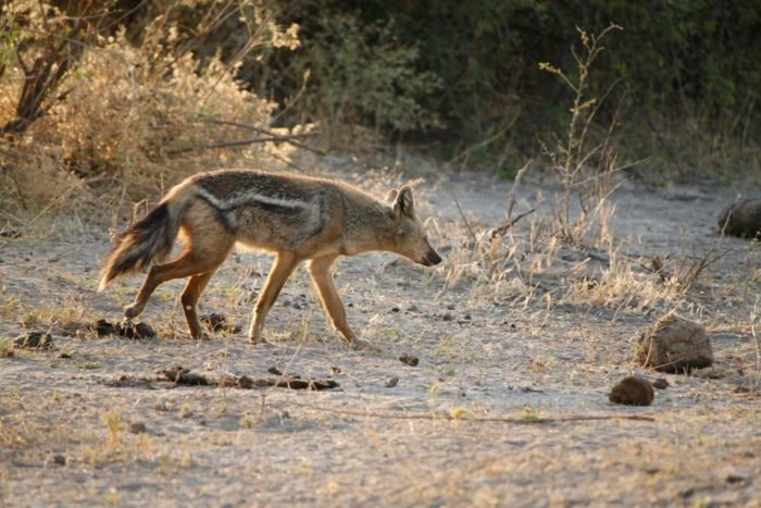Side-striped jackal Rare animals you'll be privileged to see on safari