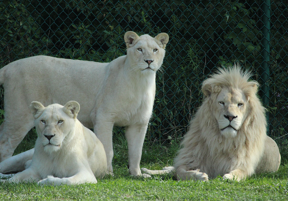 White lions Rare animals you'll be privileged to see on safari