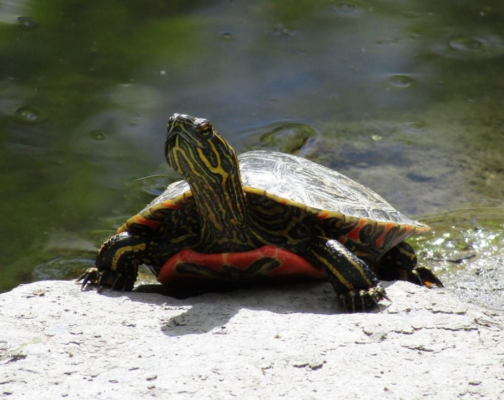 Western painted turtle North America