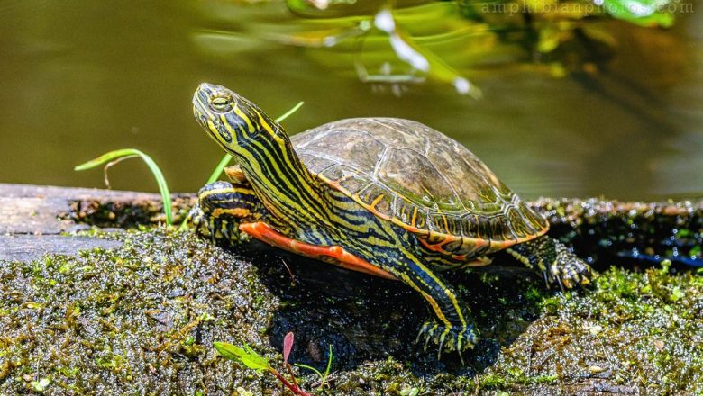 Western painted turtle, native to North America
